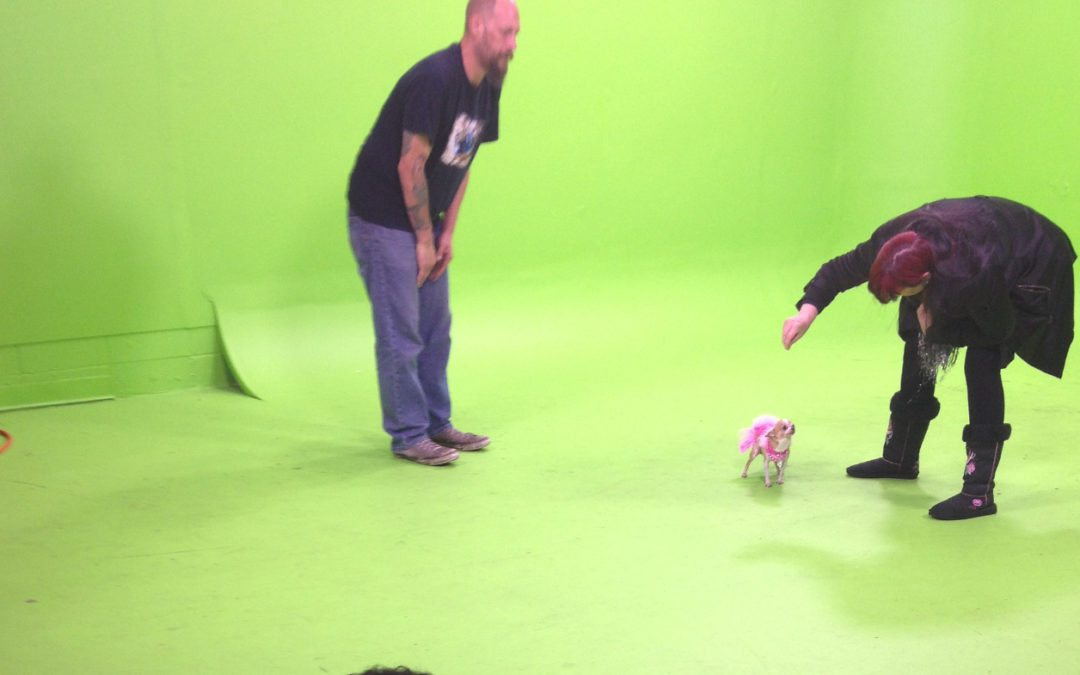 Chihuahua Commercial Shoot